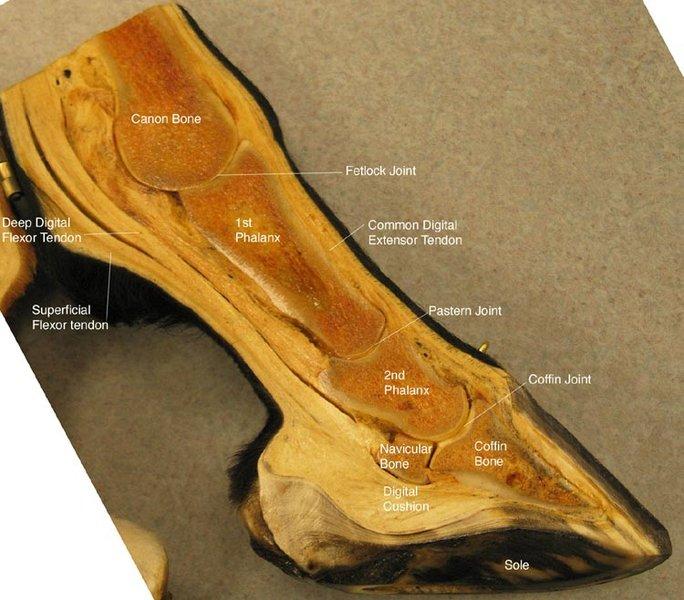 Horse leg bones anatomy