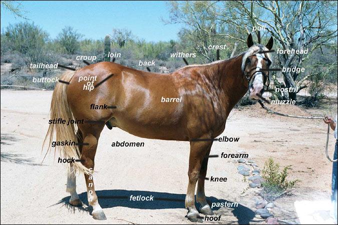 اناتومي اسب